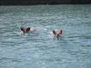 Yes, Swimming Pigs!